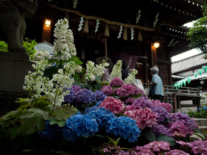 拝殿の前にも紫陽花
