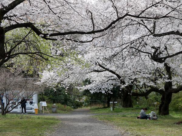 小石川植物園(2013春)