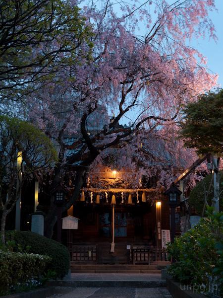 午前5時。白山神社の枝垂桜。